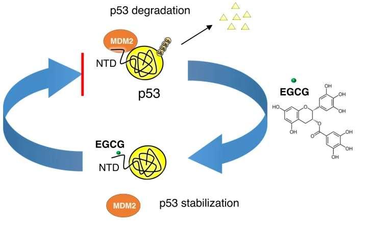 EGCG увеличивает уровень противоракового белка p53