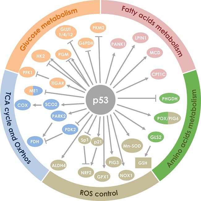 Белок p53 помогает в защите от рака