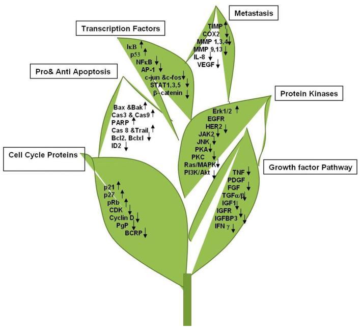 Действие EGCG на различные белки и гены
