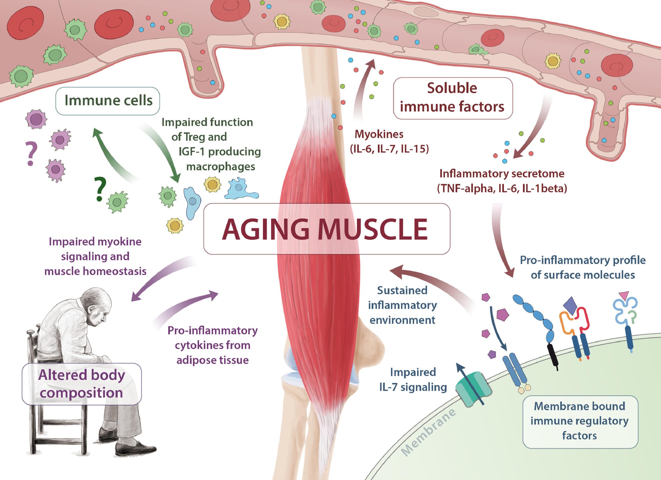 Мышцы помогают сохранить иммунитет при старении
