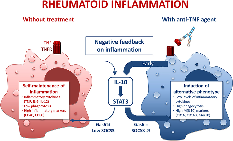 Воспаление снижает уровень интерлейкина IL-10