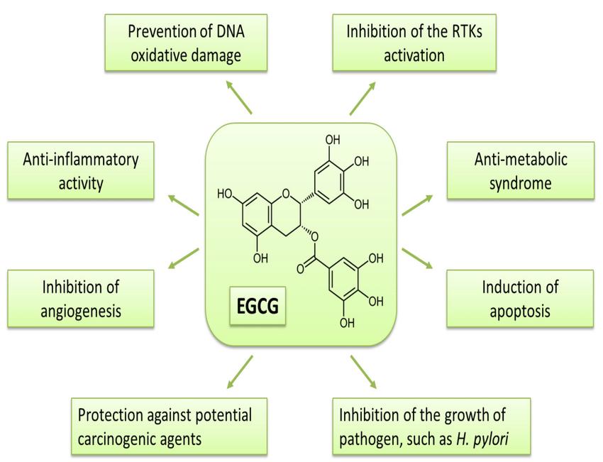 Схема влияния EGCG на организм