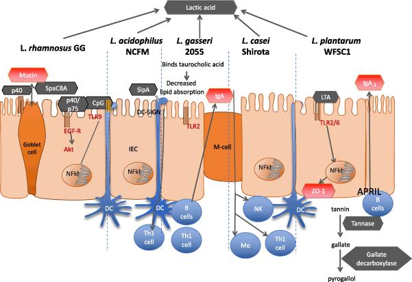 Схема связи пробиотиков и развития диабета