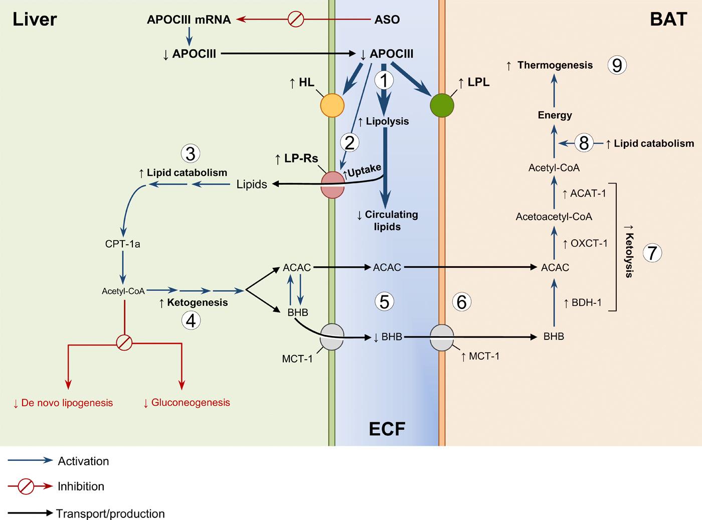 Снижение аполипопротеина С3 улучшает резистентность к инсулину