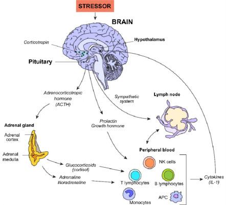 Гормоны влияют на иммунную систему