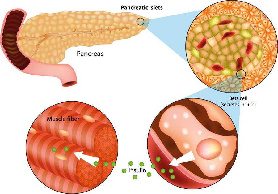 Инсулин из бета клеток поджелудочной железы