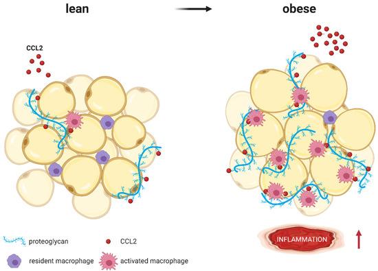 Цитокин CCL2 при ожирении