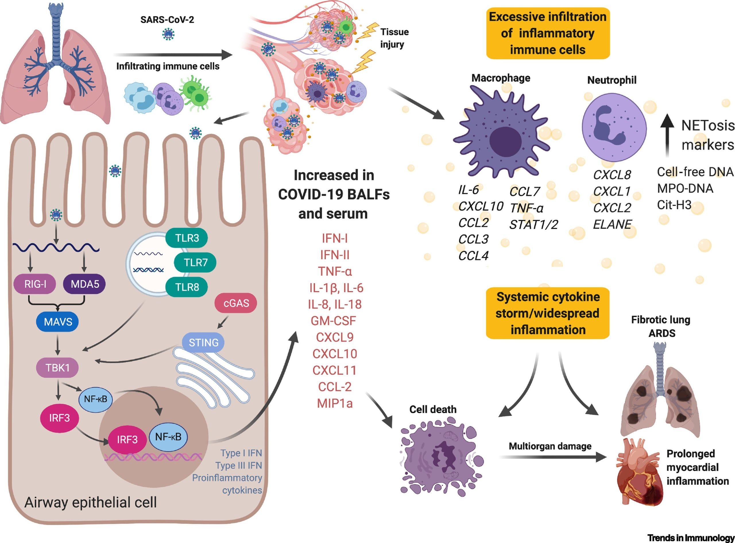 Участие CCL2 в цитокиновом шторме COVID-19