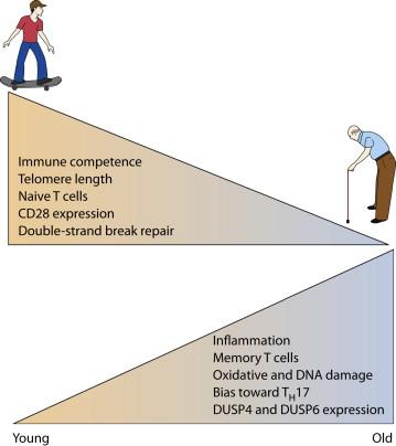 CD28 снижается при старении