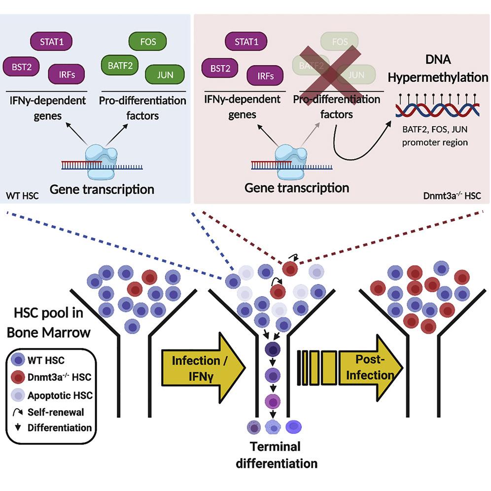 DNMT3a ген