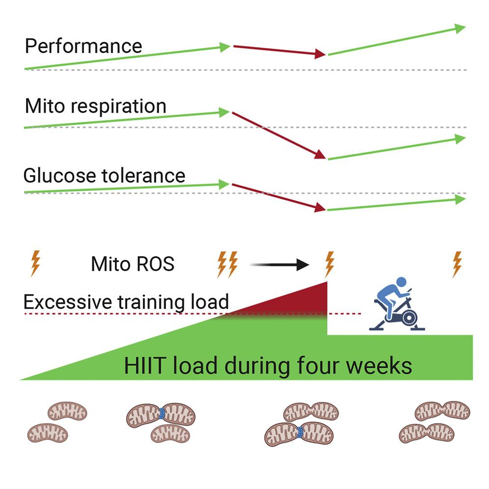 Изменение работы митохондрий при разной физической нагрузке