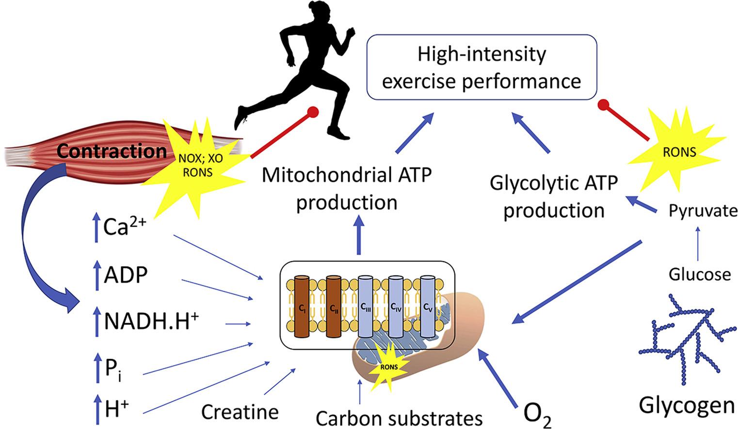 Дыхание митохондрий улучшается при интенсивных физических упражнений