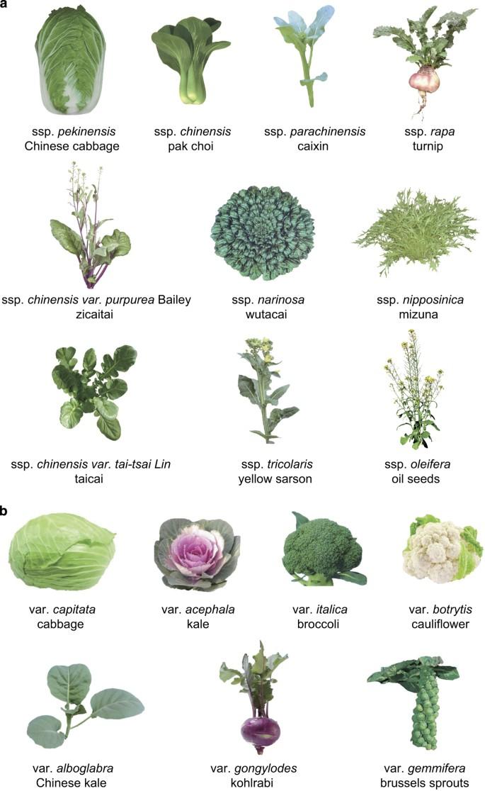 Растения рода brassica