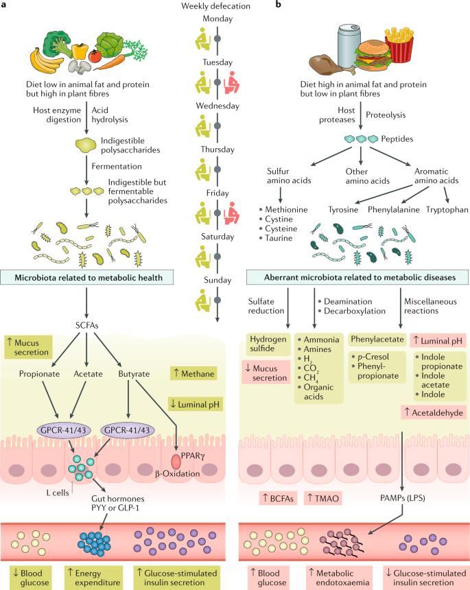 Клетчатка в питании влияет на состав микрофлоры кишечника