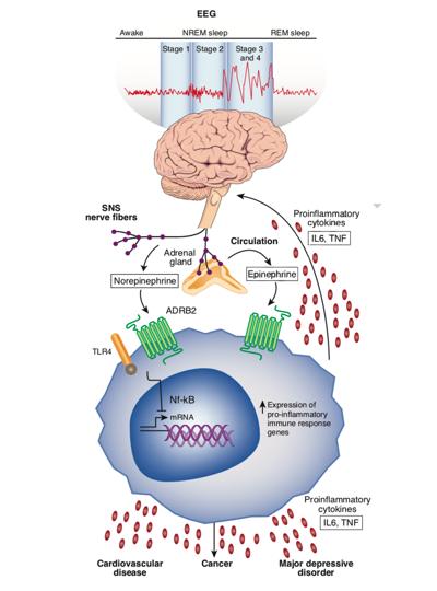 Ген ADRB2 в сигнализации адреналина