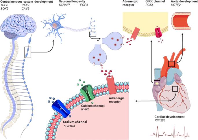 Ген ADRB2 при физической нагрузке