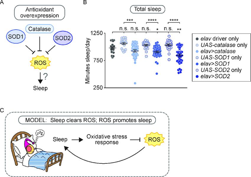 Сон снижает окислительный стресс