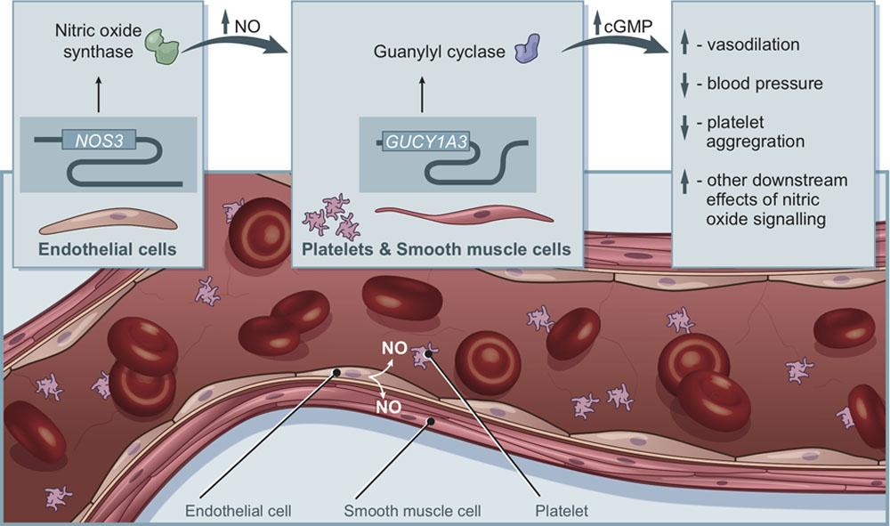 Ген NOS3 вырабатывает оксид азота