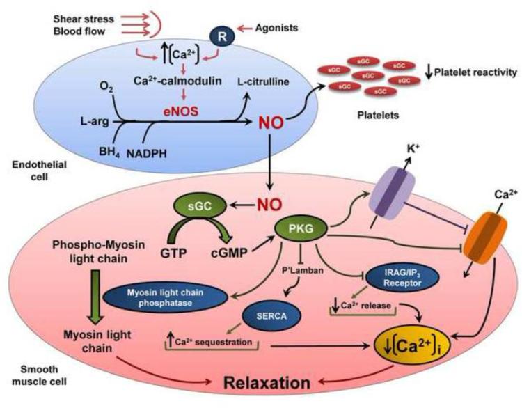 Ген NOS3 и здоровье сердечно-сосудистой системы