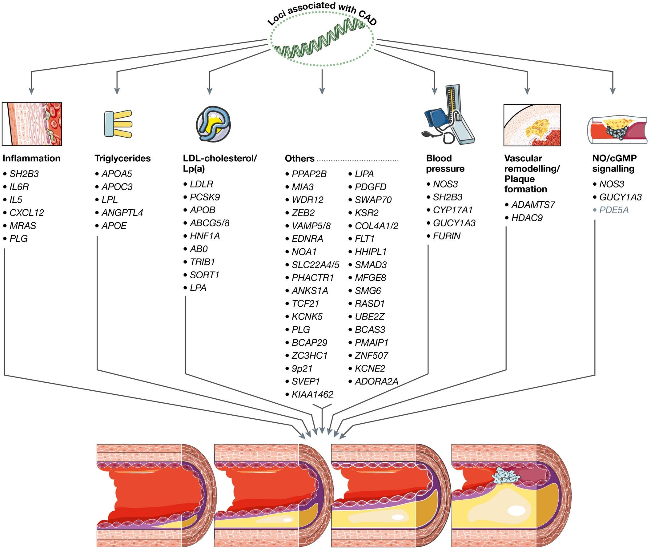 NOS3 в развитии атеросклероза