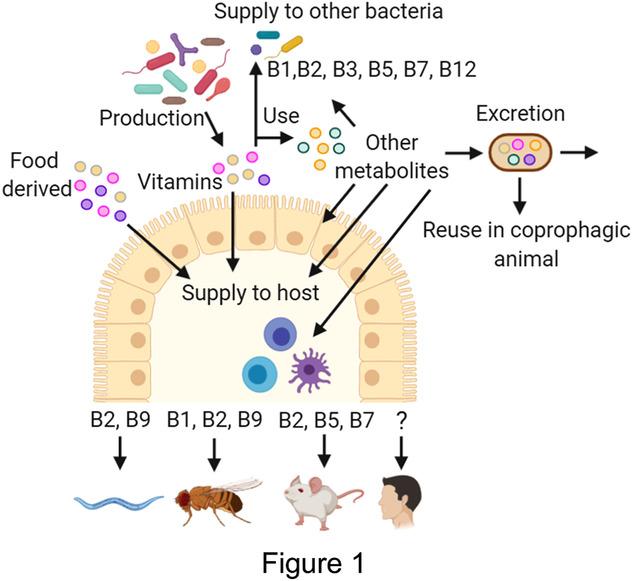 Биотин вырабатывается микрофлорой кишечника
