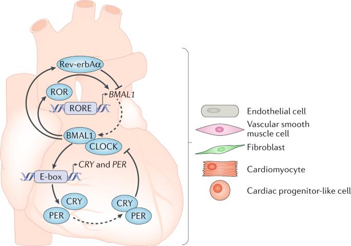 Ген CLOCK и здоровье сердца