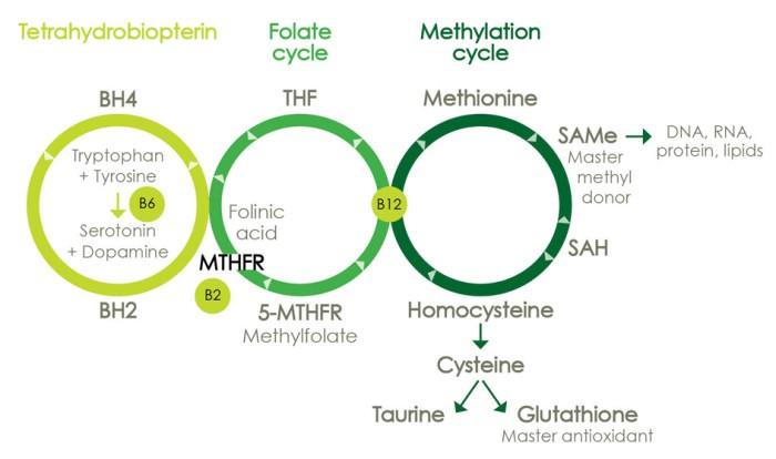Ген MTHFR и метилирование