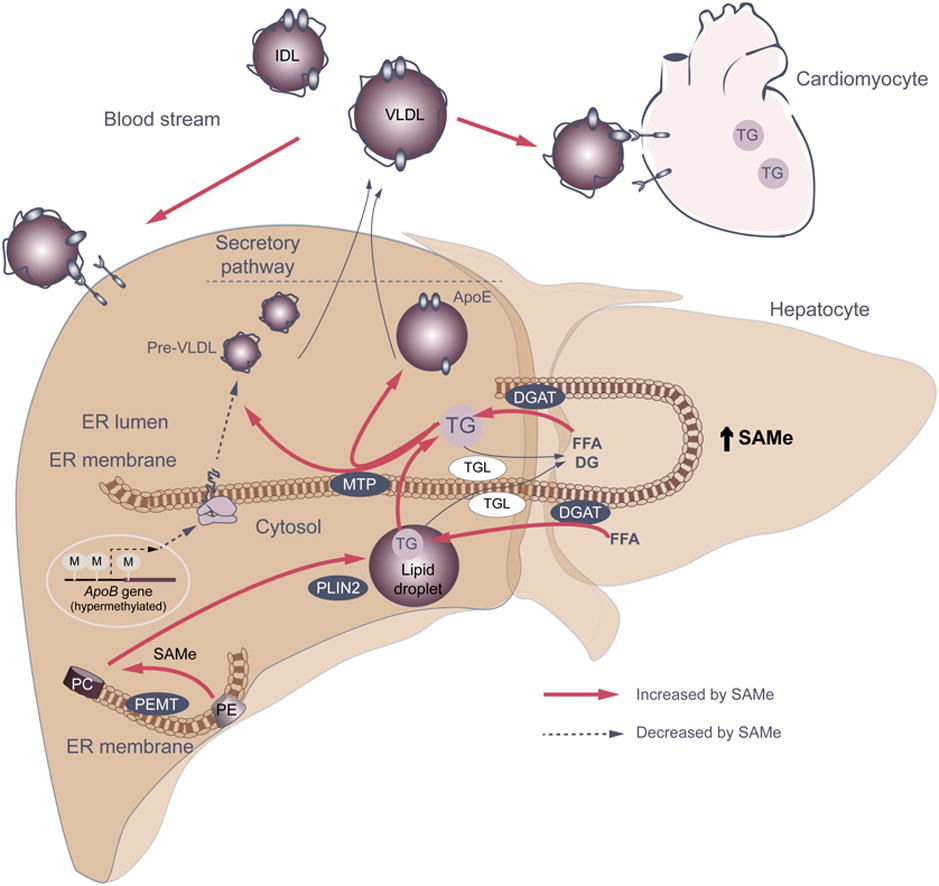 SAM-e и ген PEMT при жировой болезни печени