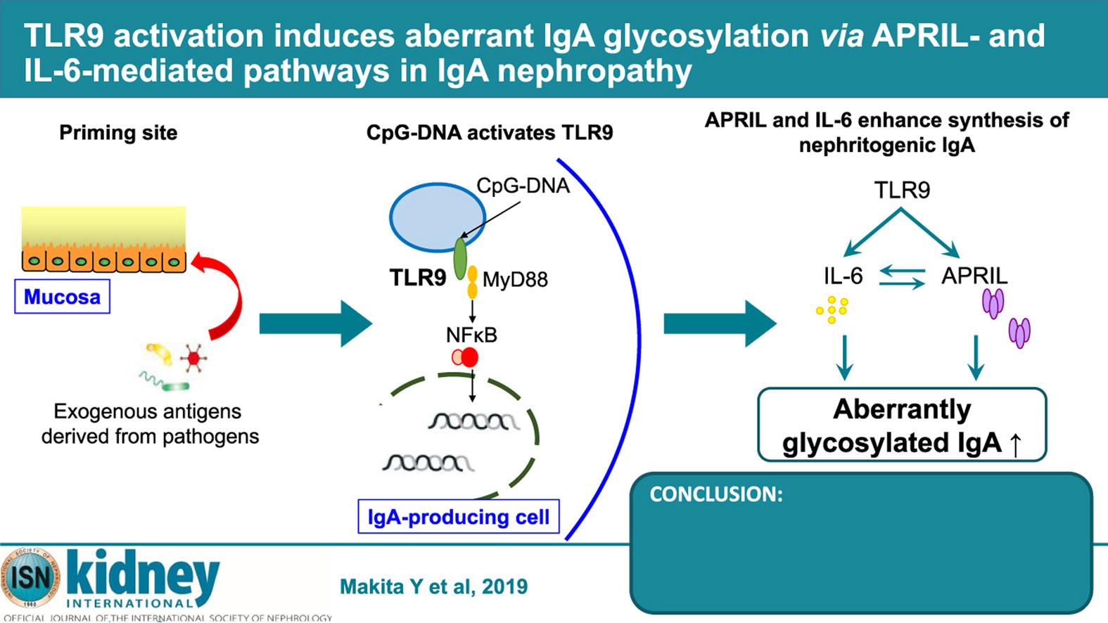 TLR9 при IgA-нефропатии