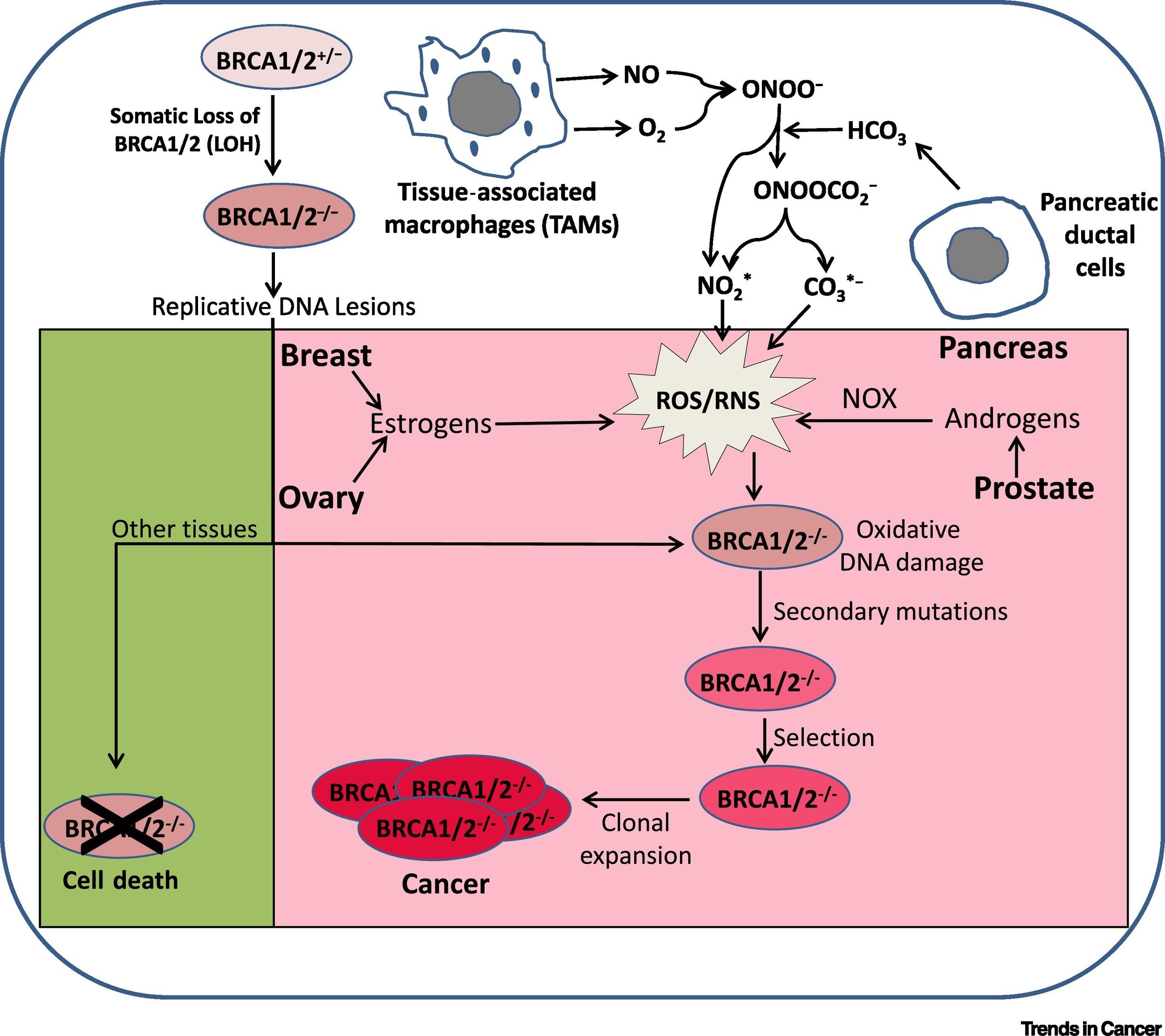 Гены BRCA1 и BRCA2 при раке